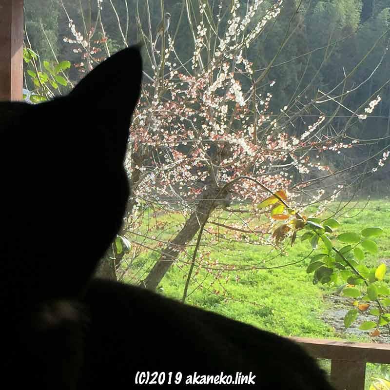 窓越しに梅の枝にとまった鳥を見る猫のシルエット