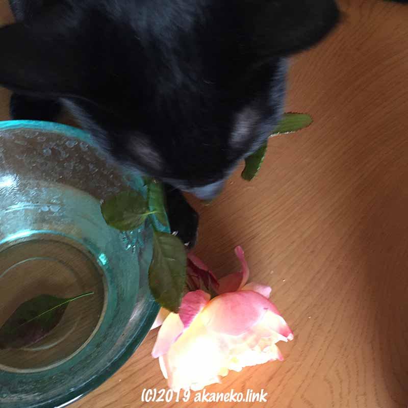バラ(レディエマハミルトンLady Emma Hamilton)を水鉢から咥え出す黒猫