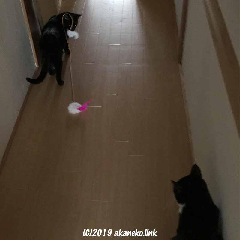 猫じゃらしで遊ぶ2匹の猫