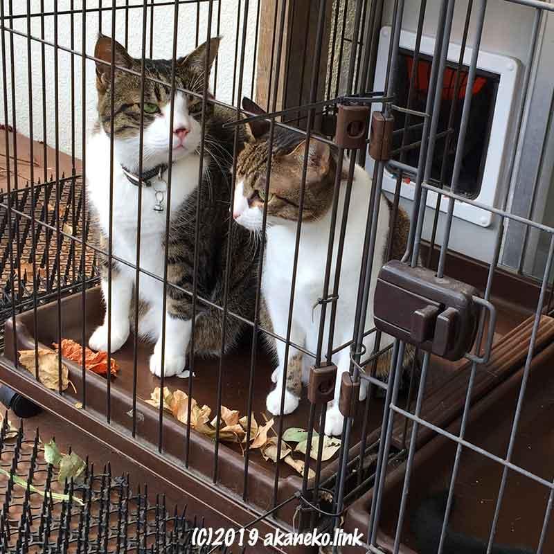 ケージの中の2匹のキジ白猫