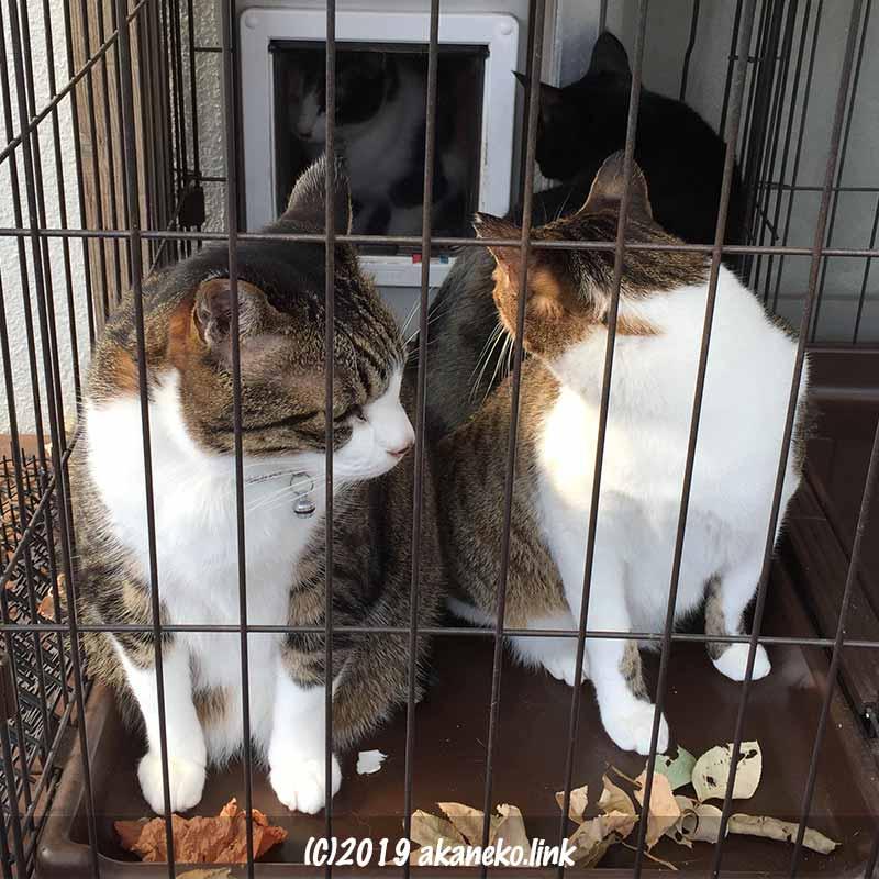 ケージの中の3匹の猫と猫ドアの向こうの三毛猫