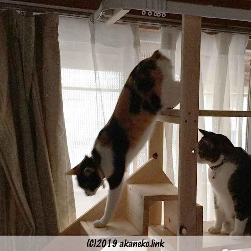 猫階段を降りる三毛猫とそれを見ているキジ猫