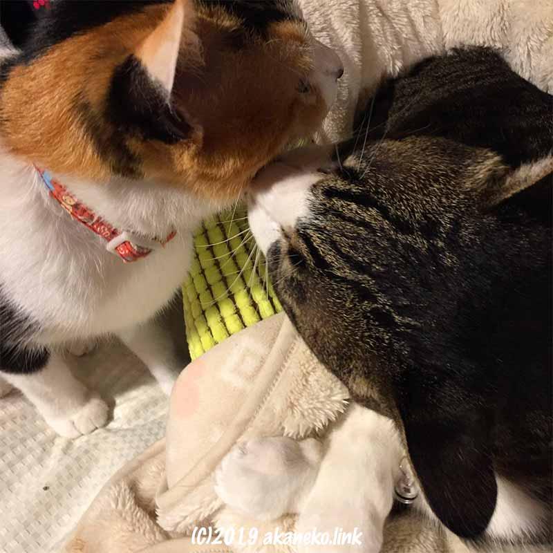 毛づくろいする三毛猫とキジ白猫