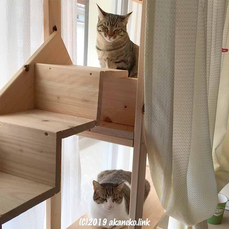 キャットウォーク(猫棚)からこちらを見る2匹の猫