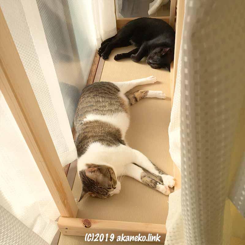 窓際で昼寝するキジ猫と黒猫