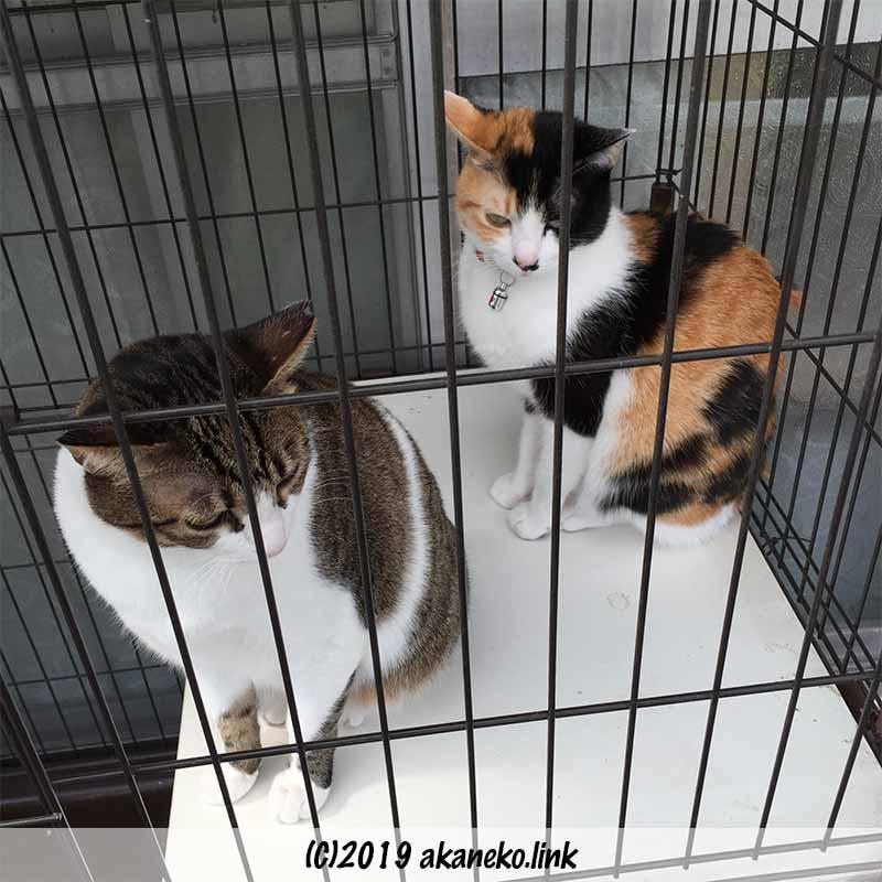 ケージの中のキジ猫と三毛猫