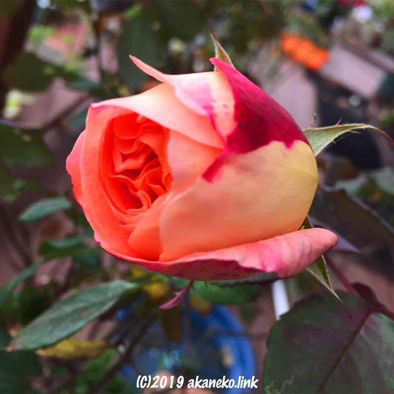 2月のバラ(レディエマハミルトンLady Emma Hamilton)の蕾