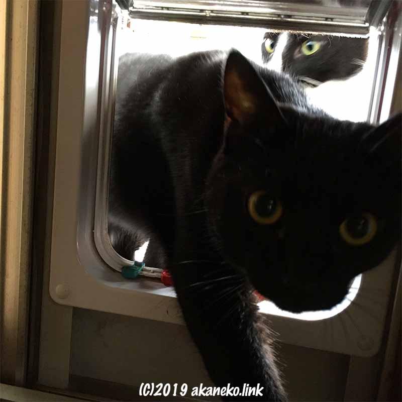 猫ドアを抜けて入ってくる黒猫とその後ろのハチワレ猫