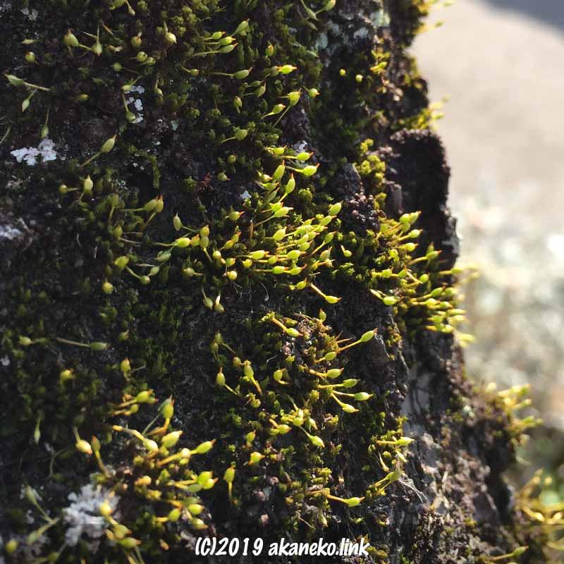 梅の幹についたサヤゴケ