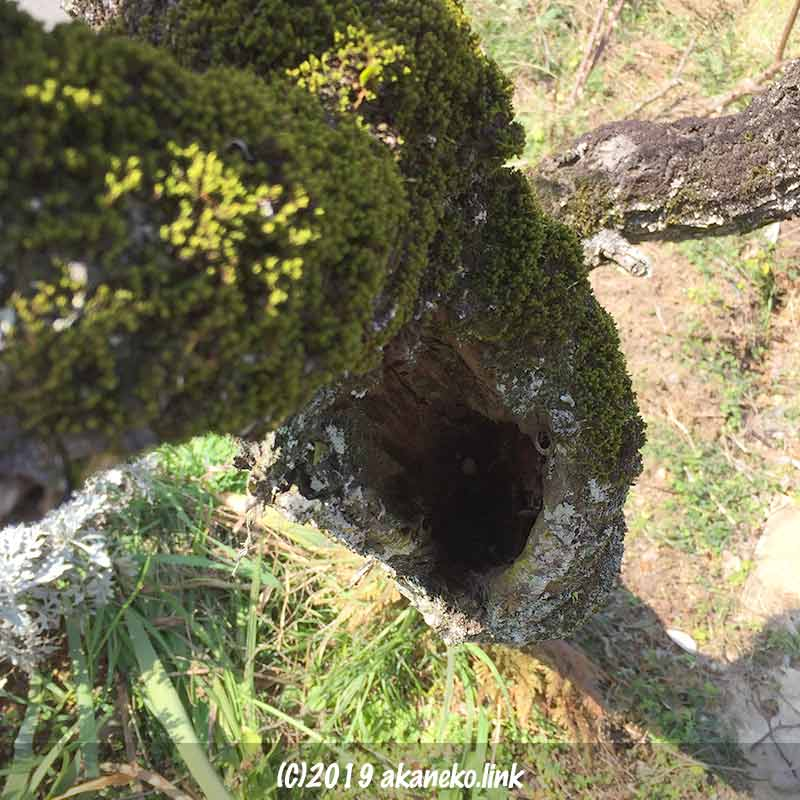 中央が朽ちた梅の幹