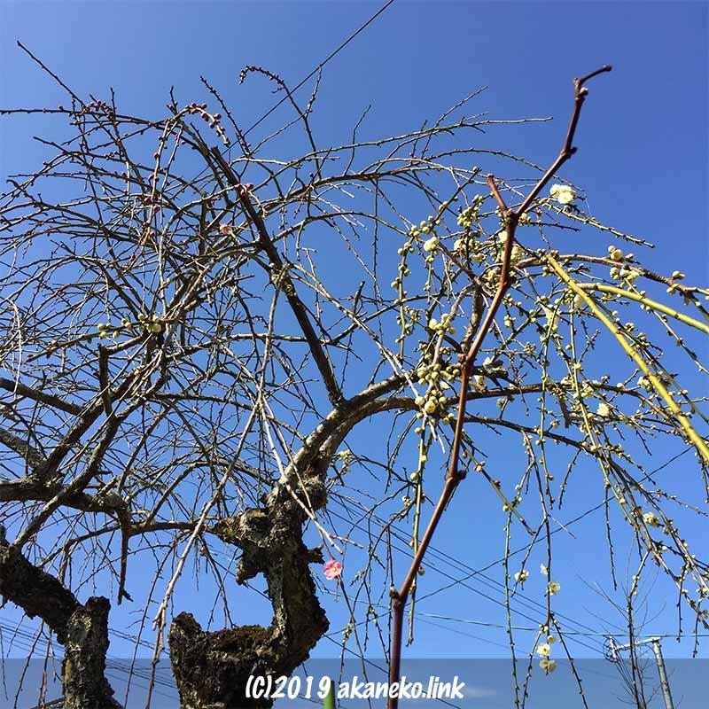 青空を背景にして数輪だけ咲いた紅白枝垂れ梅の木
