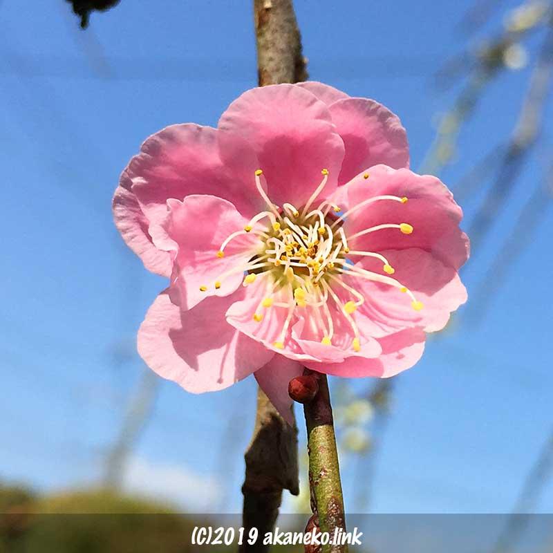 桃色の枝垂れ梅の花