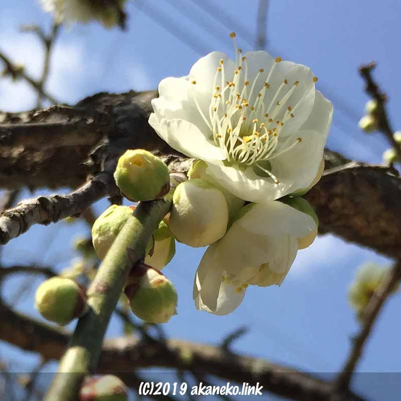 青空と八重咲きの白い枝垂れ梅(実梅)の花