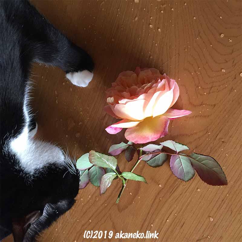 バラ(レディエマハミルトンLady Emma Hamilton)を嗅ぐ猫