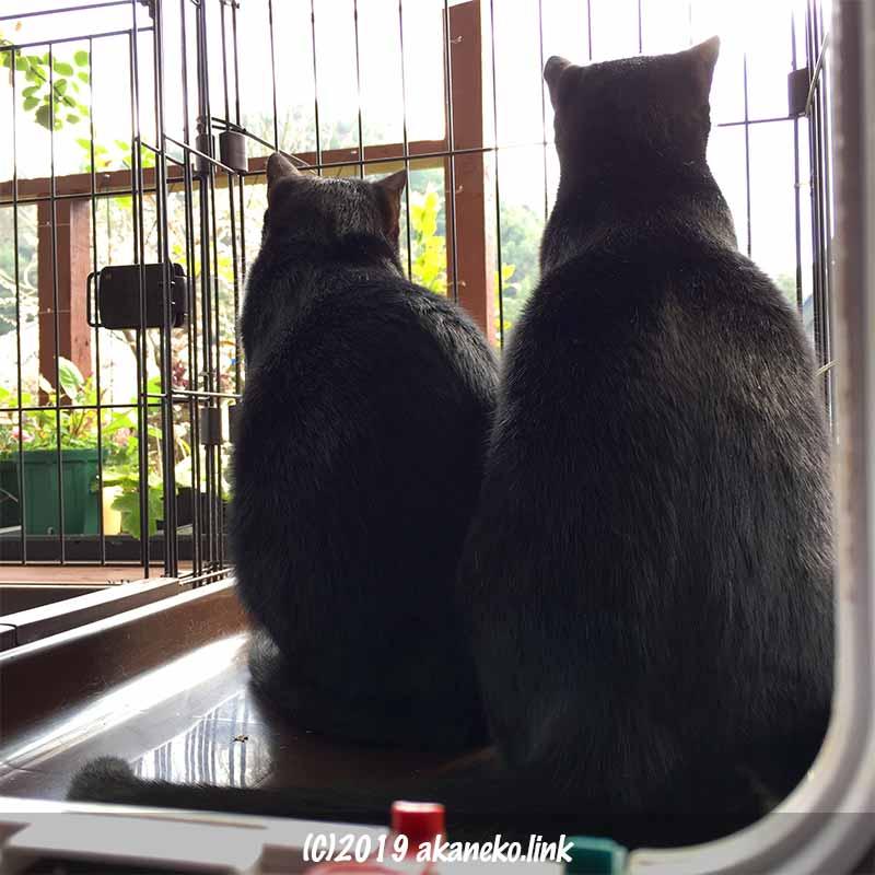 ケージの中から外を見る背中を向けた2匹の黒猫