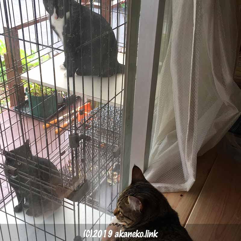外ケージの2匹の猫と窓から外を見るキジ猫