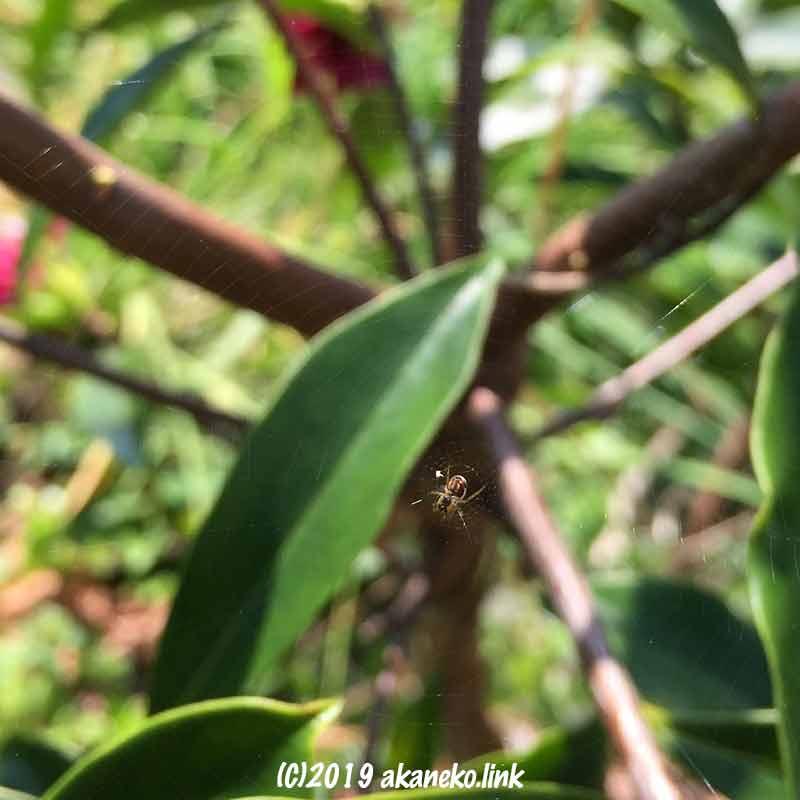 ジンチョウゲに巣を張った小さなクモ