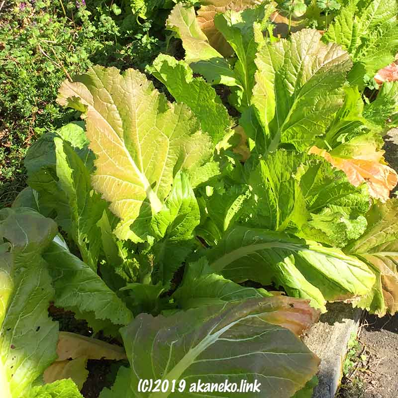 庭植えの蕾菜(祝蕾・子持ち高菜)