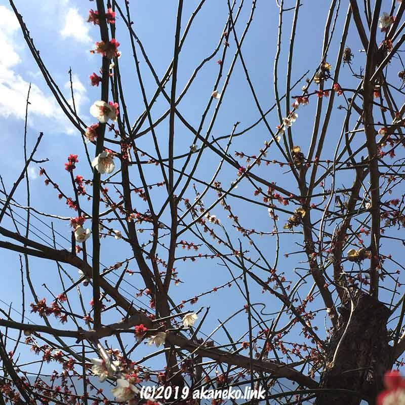 花が終わりかけた梅の枝