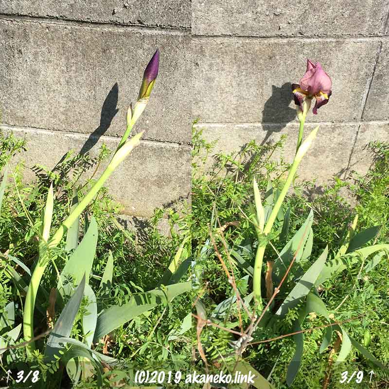 3月上旬、雑草の中で狂い咲きのジャーマンアイリス