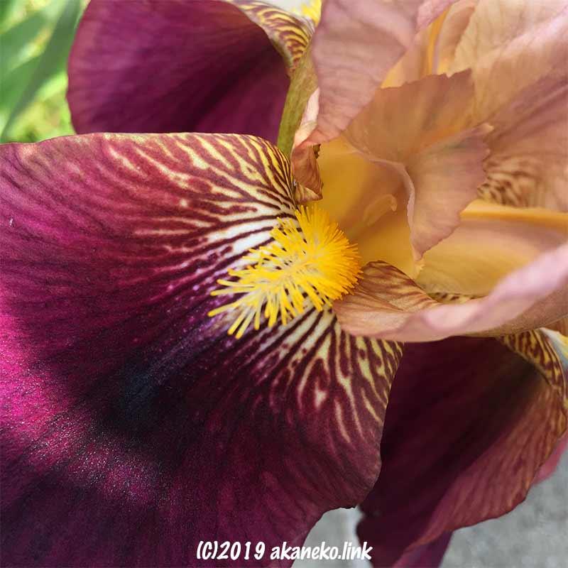 ジャーマンアイリスの花のアップ