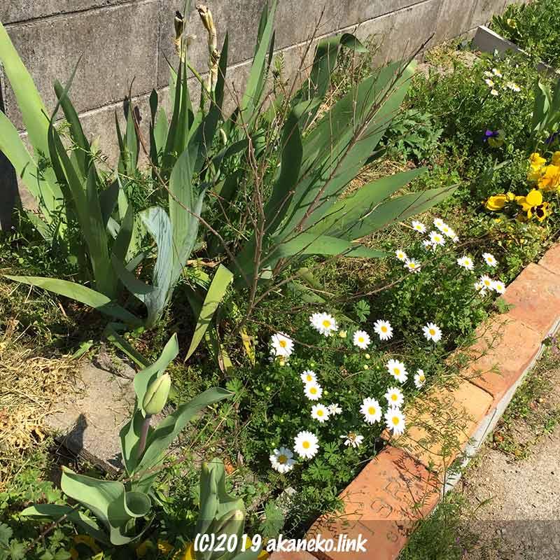 花壇の花の終わったジャーマンアイリスと蕾のチューリップ