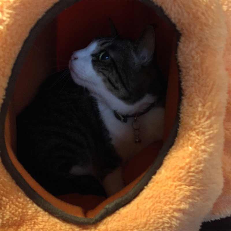 猫ベッドの中の様子をチェックする猫
