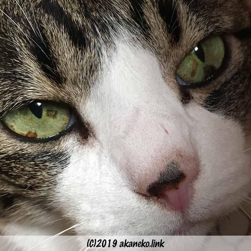 猫の瞳孔の染み(茶色い色素沈着)
