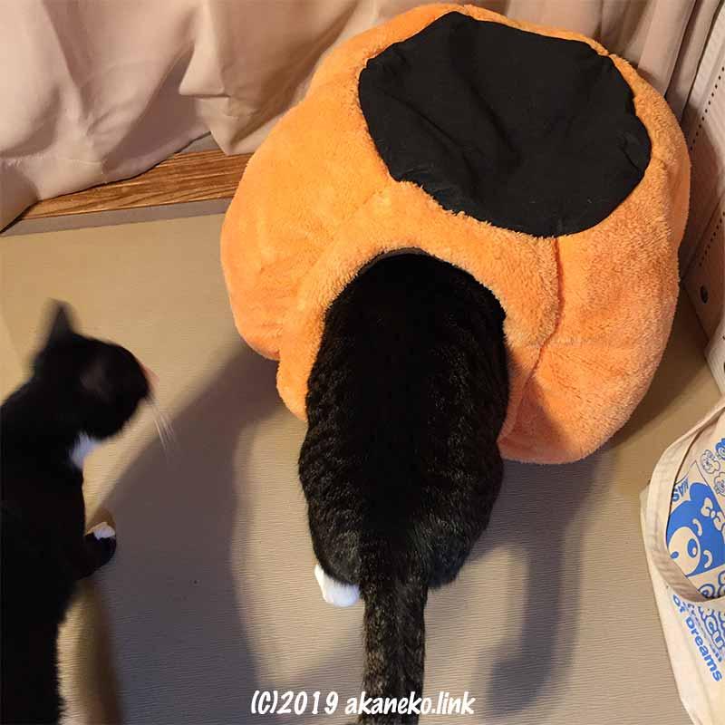 猫ベッドに頭だけ入れた猫のお尻