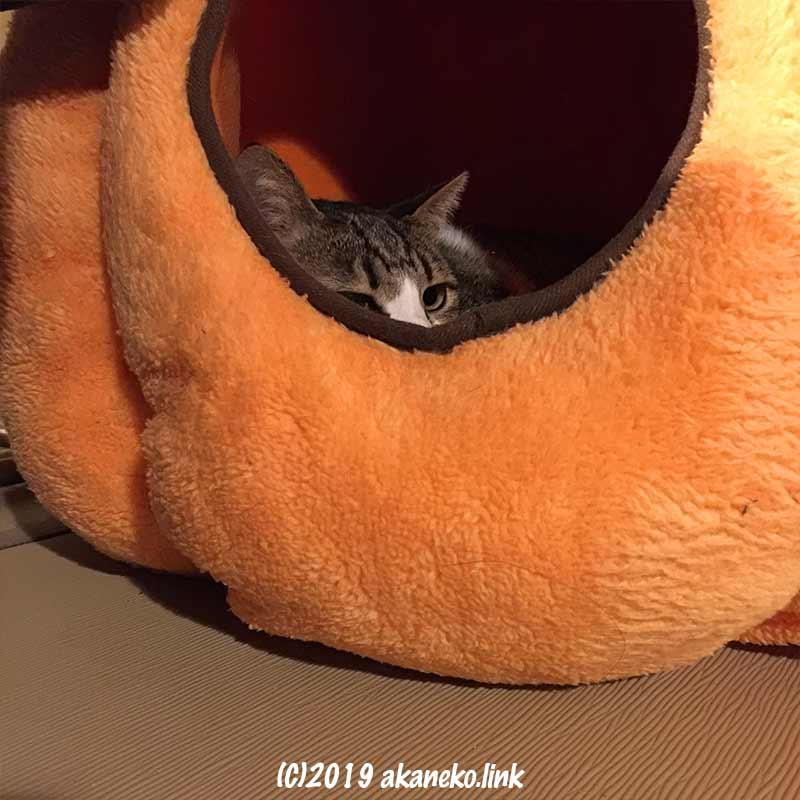 オレンジ色の猫ベッドの中の猫