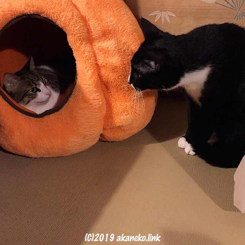 お気に入りベッドを巡って睨み合う2匹の猫
