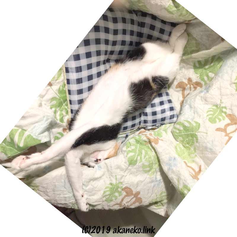 仰向けに伸びをしながら寝ている三毛猫
