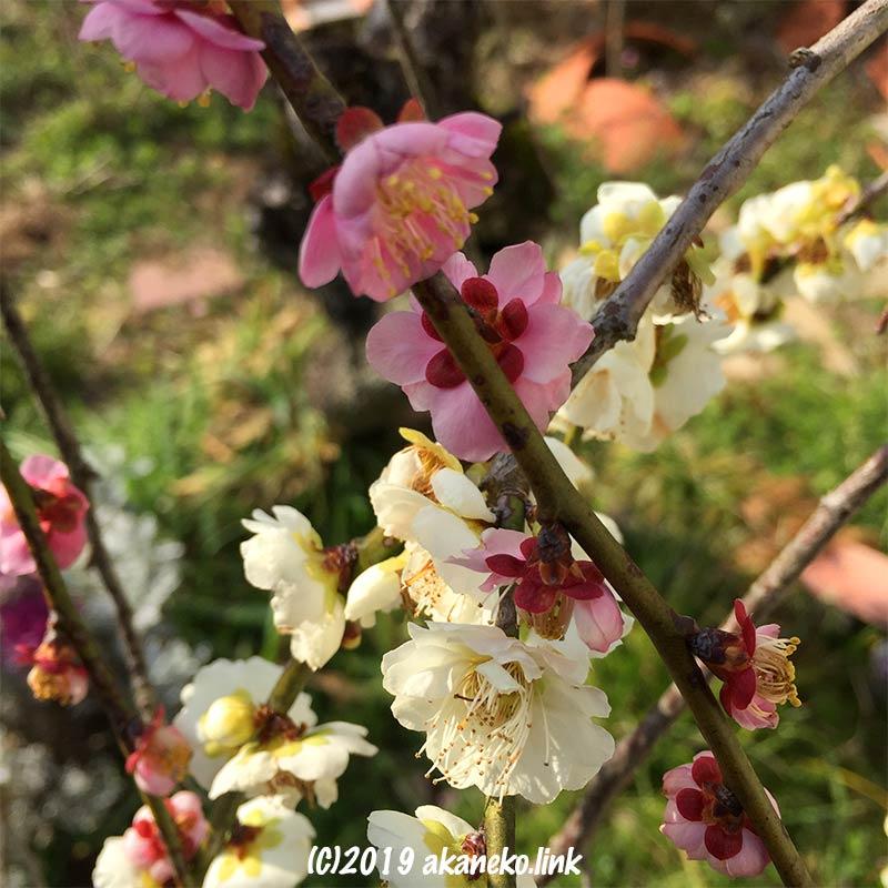 紅白の枝垂れ梅の枝