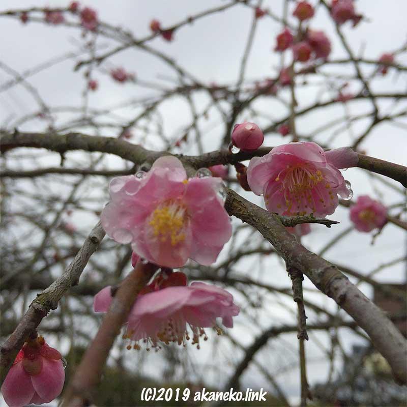 雨粒をまとった枝垂れ梅の桃色の花