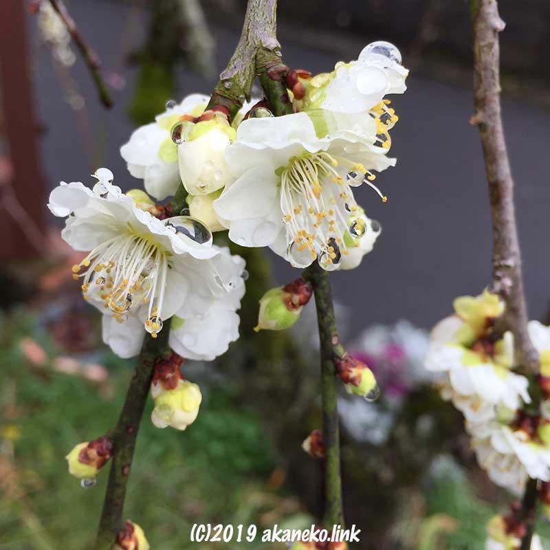 雨粒をまとった枝垂れ梅の白い花