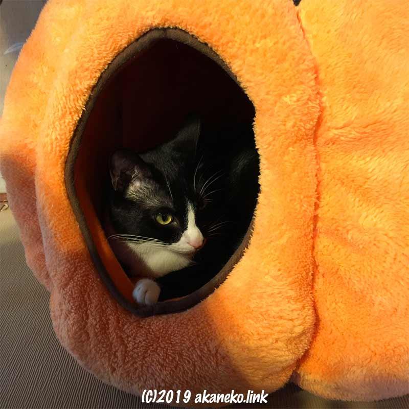 かぼちゃ型ベッドの中の猫