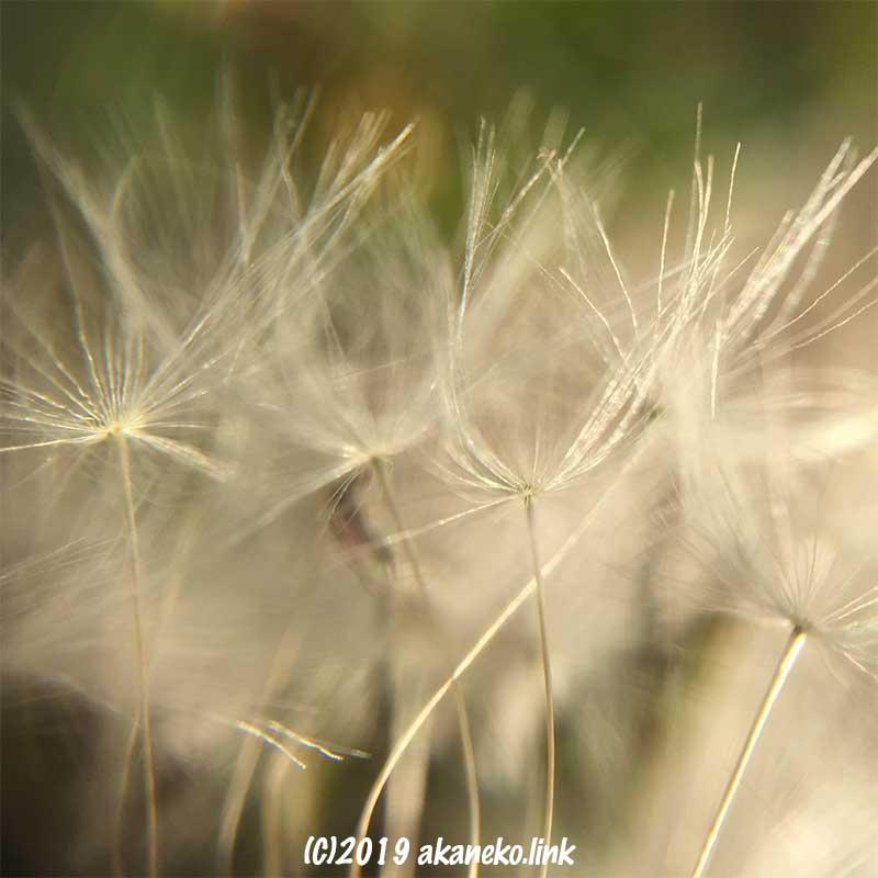 ダイソーのスマホ接写レンズで撮影したタンポポの綿毛