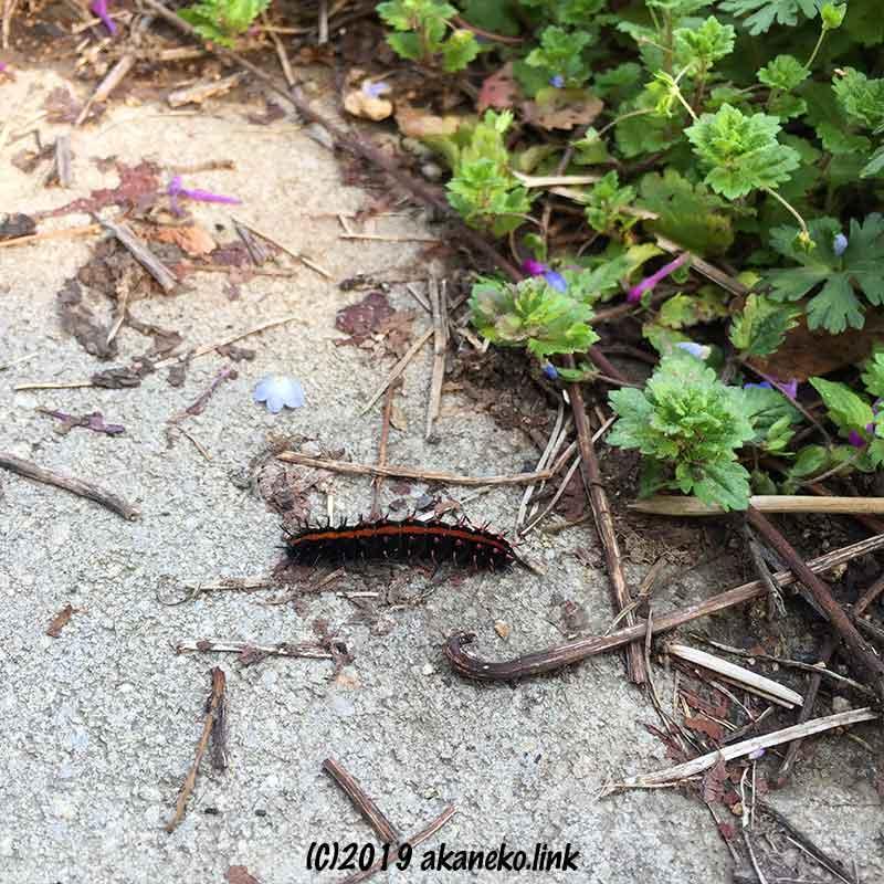 コンクリートの上のツマグロヒョウモンの幼虫(黒とオレンジの芋虫)