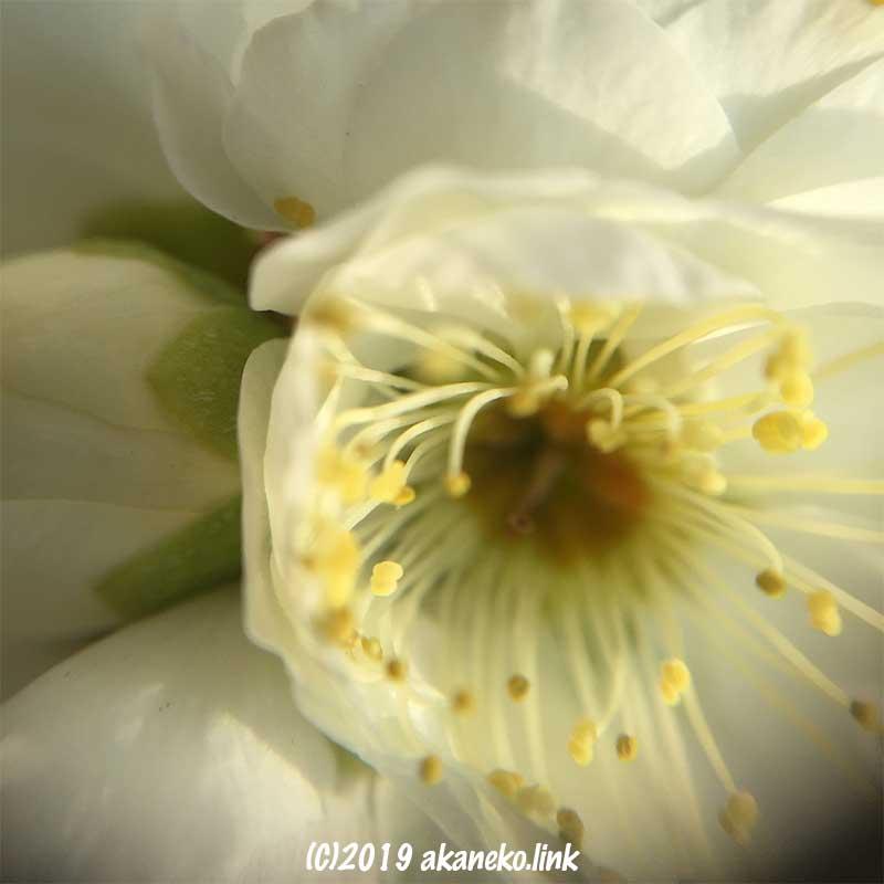 ダイソーのスマホ接写レンズで撮影した梅の花