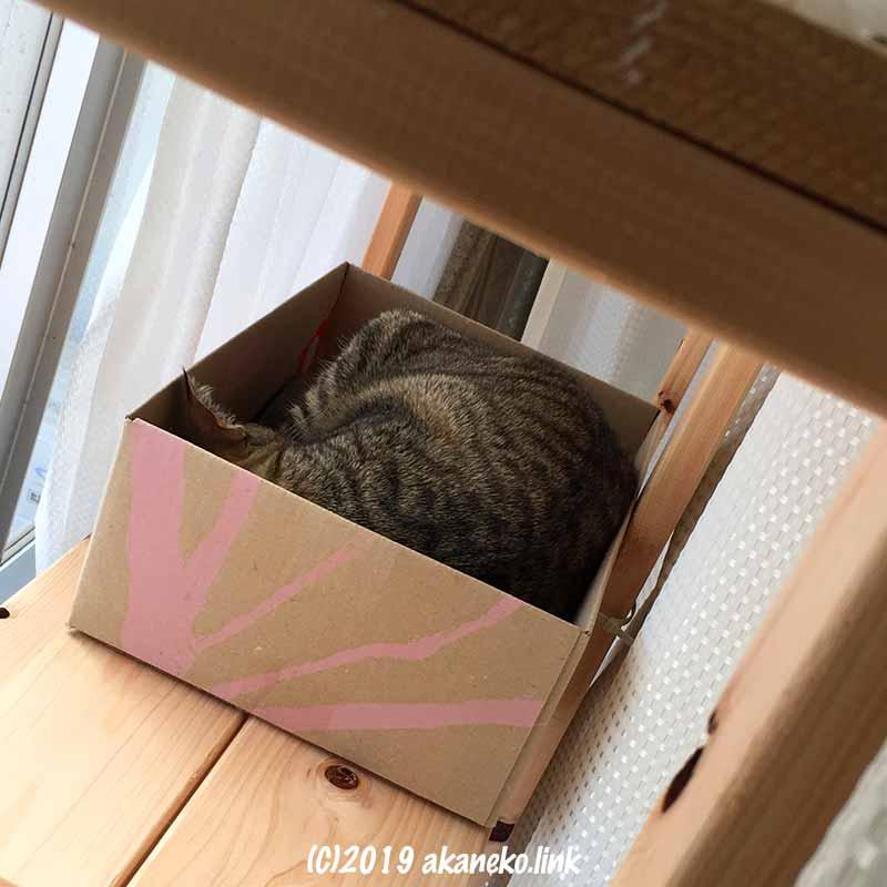 フェリシモの箱の中で眠るキジ猫