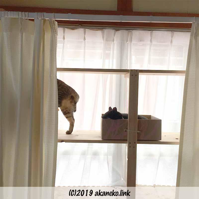 猫棚のダンボールベットに先に寝ている猫を見て、諦める猫