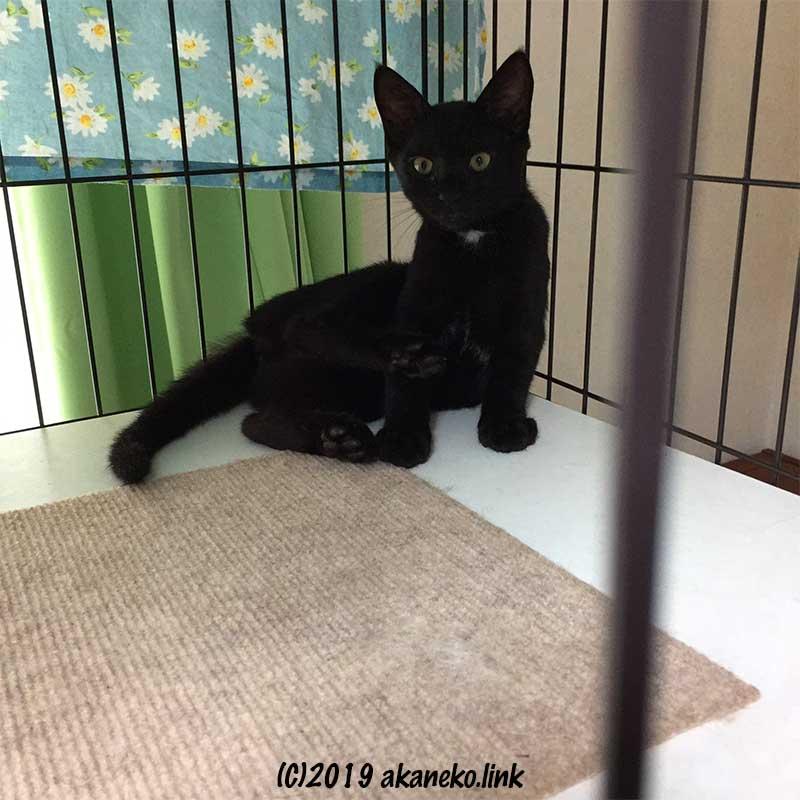 ケージの中からこちらを見つめる黒い子猫