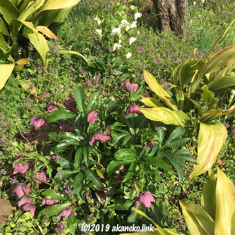 雑草の庭のクリスマスローズと葉蘭