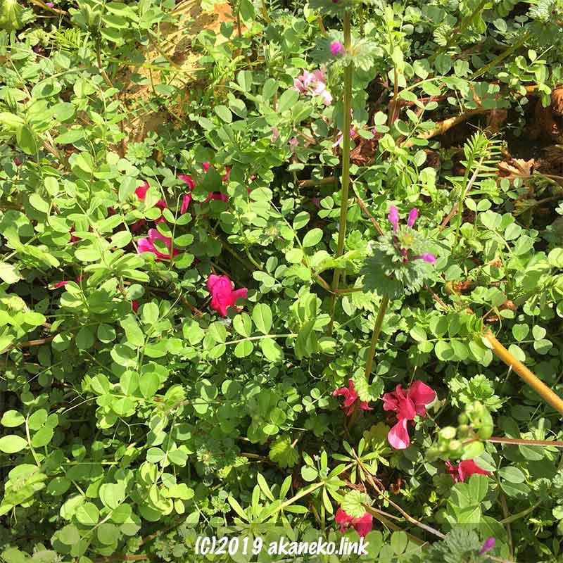 カラスノエンドウに埋もれて咲くガーデンシクラメン