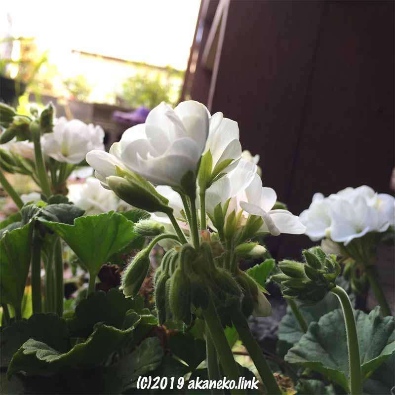太陽を求めて咲く白ゼラニウムの花