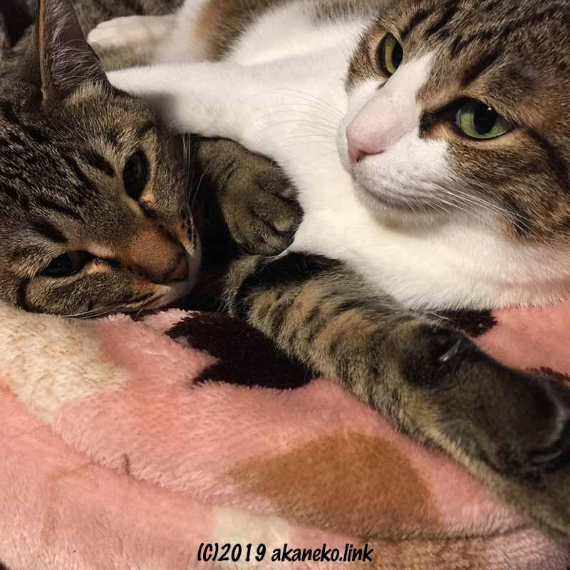 一緒に横たわる親娘猫