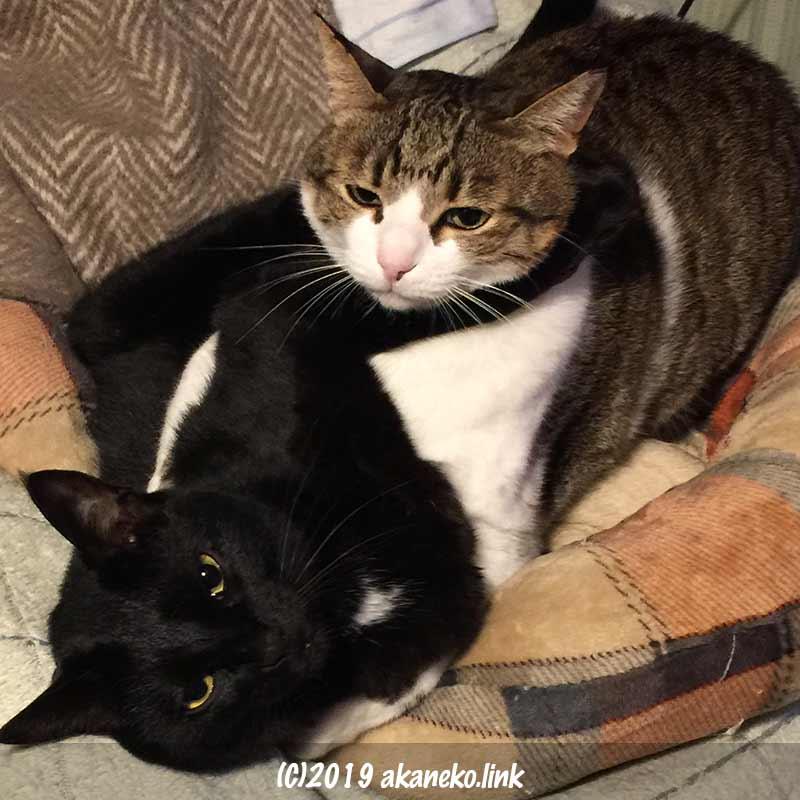 絡み合って寝転ぶ2匹の猫
