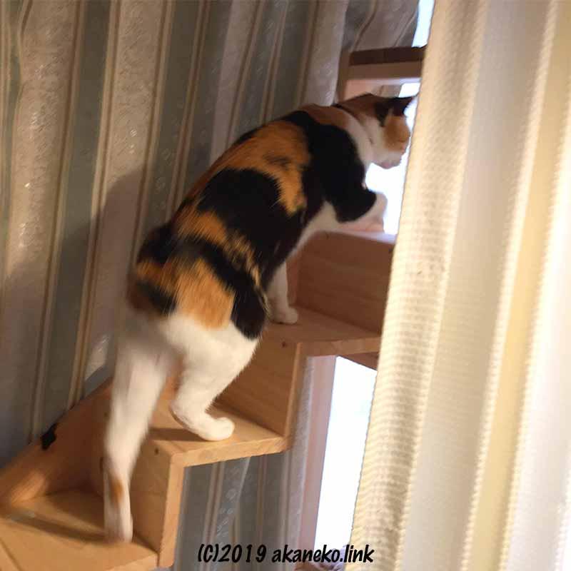 DIYで作った猫用階段を登る尻尾のない三毛猫
