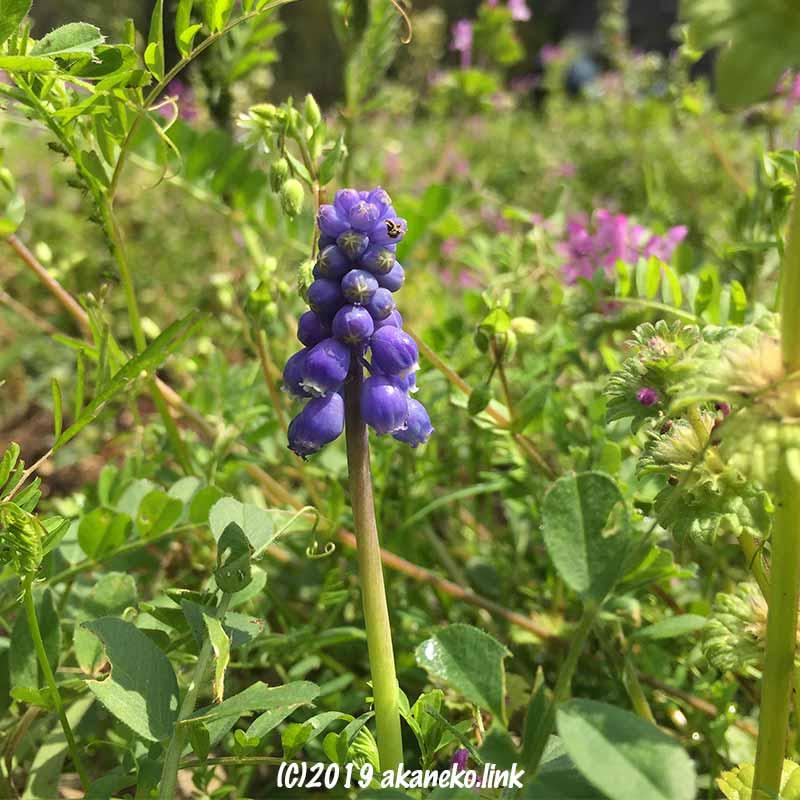 雑草の中にニョキッと咲いたムスカリの花
