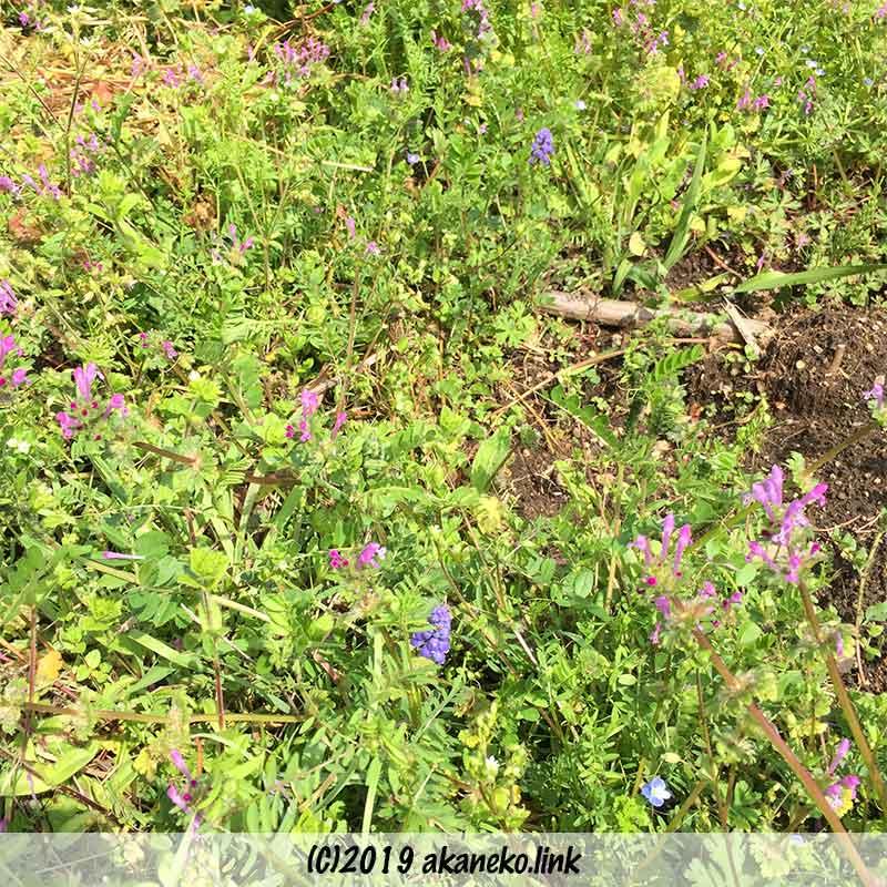 野草の中に2株のムスカリの花